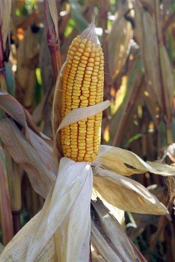 L'ADN du maïs transgénique persiste dans la chaîne alimentaire